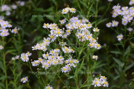 シオン (紫苑)の写真素材 [FYI01209948]