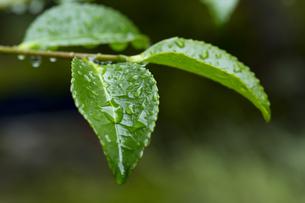 水滴 雨あがり サザンカの葉の写真素材 [FYI01209964]