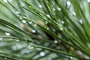 水滴 雨あがり 松の葉の写真素材 [FYI01209965]