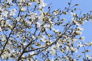 コブシの木の春と秋 ・ 早春 真っ白な花が咲き乱れ 秋 赤い実をつける。の写真素材 [FYI01210142]