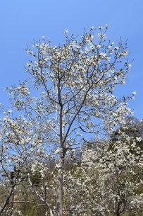 コブシの木の春と秋 ・ 早春 真っ白な花が咲き乱れ 秋 赤い実をつける。の写真素材 [FYI01210143]