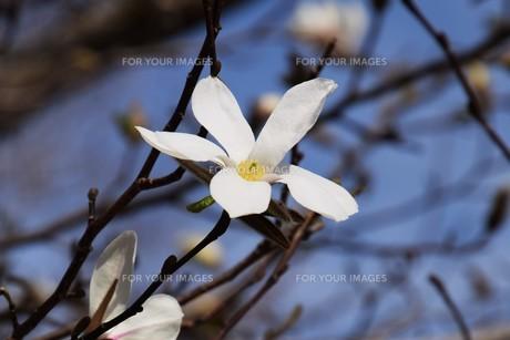 コブシの木の春と秋 ・ 早春 真っ白な花が咲き乱れ 秋 赤い実をつける。の写真素材 [FYI01210145]