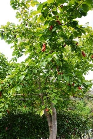 コブシの木の春と秋 ・ 早春 真っ白な花が咲き乱れ 秋 赤い実をつける。の写真素材 [FYI01210146]