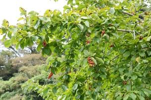 コブシの木の春と秋 ・ 早春 真っ白な花が咲き乱れ 秋 赤い実をつける。の写真素材 [FYI01210147]