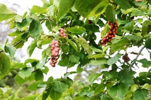 コブシの木の春と秋 ・ 早春 真っ白な花が咲き乱れ 秋 赤い実をつける。の写真素材 [FYI01210149]