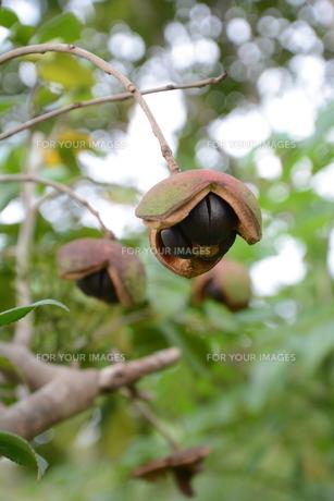 ヤブツバキの実 (種)の写真素材 [FYI01210160]
