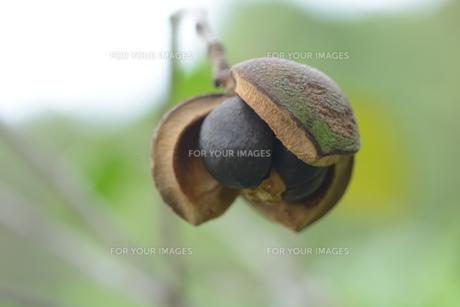 ヤブツバキの実 (種)の写真素材 [FYI01210161]