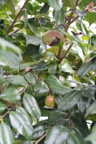 ヤブツバキの実 (種)の写真素材 [FYI01210162]