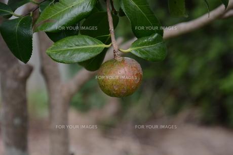 ヤブツバキの実 (種)の写真素材 [FYI01210163]