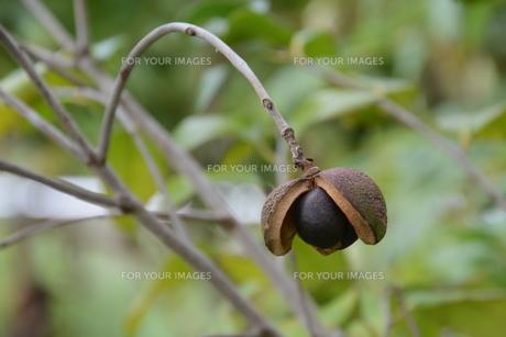 ヤブツバキの実 (種)の写真素材 [FYI01210164]