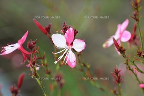 ガウラ (白蝶草)・ 秋風に揺れる風情 やさしい雰囲気の花 ガウラ。の写真素材 [FYI01210169]