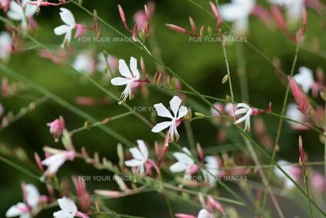 ガウラ (白蝶草)・ 秋風に揺れる風情 やさしい雰囲気の花 ガウラ。の写真素材 [FYI01210171]