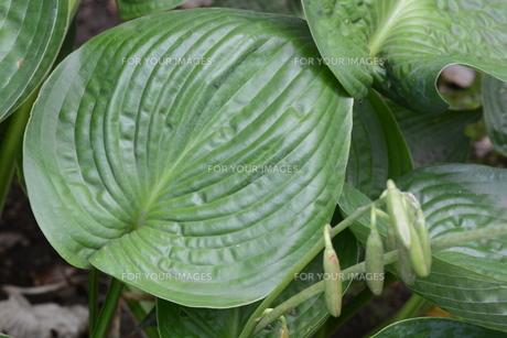 ギボウシ(擬宝珠)の葉 ・ つぼみが橋の欄干の擬宝珠に似ていることからの命名。の写真素材 [FYI01210173]
