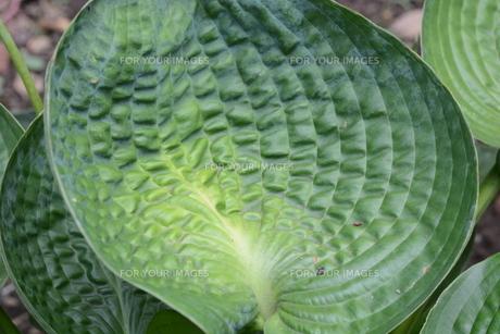 ギボウシ(擬宝珠)の葉 ・ つぼみが橋の欄干の擬宝珠に似ていることからの命名。の写真素材 [FYI01210175]