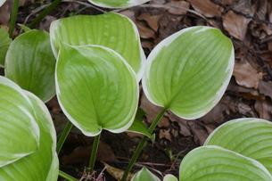 ギボウシ(擬宝珠)の葉 ・ つぼみが橋の欄干の擬宝珠に似ていることからの命名。の写真素材 [FYI01210178]