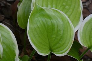 ギボウシ(擬宝珠)の葉 ・ つぼみが橋の欄干の擬宝珠に似ていることからの命名。の写真素材 [FYI01210180]