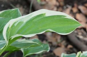 ギボウシ(擬宝珠)の葉 ・ つぼみが橋の欄干の擬宝珠に似ていることからの命名。の写真素材 [FYI01210183]