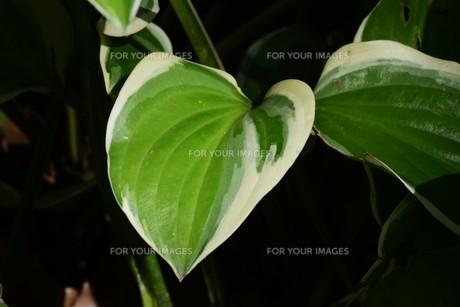 ギボウシ(擬宝珠)の葉 ・ つぼみが橋の欄干の擬宝珠に似ていることからの命名。の写真素材 [FYI01210185]