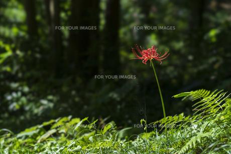 曼珠沙華 彼岸花 一輪 自然 植物 野外 屋外 緑 赤の写真素材 [FYI01210214]