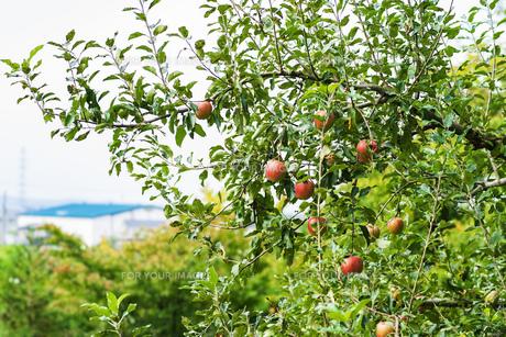 林檎 リンゴ りんご アップル 果物 フルーツ 自然 風景 木 葉 緑 赤の写真素材 [FYI01210277]
