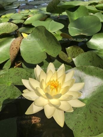 池に浮かぶ蓮の花の写真素材 [FYI01210336]