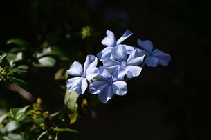ルリマツリ (瑠璃茉莉 ・微風に揺れる薄紫の花が 何とも涼し気だ。の写真素材 [FYI01210337]