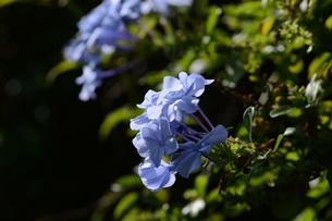 ルリマツリ (瑠璃茉莉 ・微風に揺れる薄紫の花が 何とも涼し気だ。の写真素材 [FYI01210338]