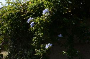 ルリマツリ (瑠璃茉莉 ・微風に揺れる薄紫の花が 何とも涼し気だ。の写真素材 [FYI01210339]