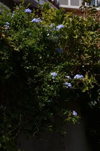 ルリマツリ (瑠璃茉莉 ・微風に揺れる薄紫の花が 何とも涼し気だ。の写真素材 [FYI01210340]