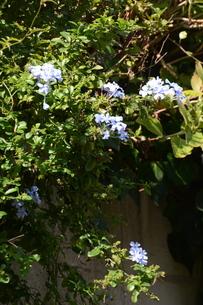 ルリマツリ (瑠璃茉莉 ・微風に揺れる薄紫の花が 何とも涼し気だ。の写真素材 [FYI01210341]