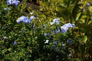 ルリマツリ (瑠璃茉莉 ・微風に揺れる薄紫の花が 何とも涼し気だ。の写真素材 [FYI01210342]
