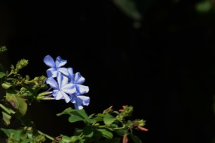 ルリマツリ (瑠璃茉莉 ・微風に揺れる薄紫の花が 何とも涼し気だ。の写真素材 [FYI01210343]