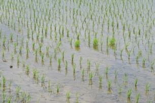米栽培の記録 ・ 日本人の主食コメ 田植え 生育 稲刈りの記録。の写真素材 [FYI01210344]