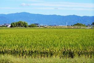 米栽培の記録 ・ 日本人の主食コメ 田植え 生育 稲刈りの記録。の写真素材 [FYI01210345]