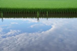 米栽培の記録 ・ 日本人の主食コメ 田植え 生育 稲刈りの記録。の写真素材 [FYI01210347]