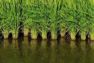 米栽培の記録 ・ 日本人の主食コメ 田植え 生育 稲刈りの記録。の写真素材 [FYI01210348]