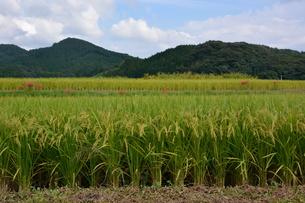 米栽培の記録 ・ 日本人の主食コメ 田植え 生育 稲刈りの記録。の写真素材 [FYI01210349]