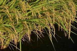 米栽培の記録 ・ 日本人の主食コメ 田植え 生育 稲刈りの記録。の写真素材 [FYI01210350]