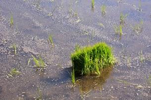 米栽培の記録 ・ 日本人の主食コメ 田植え 生育 稲刈りの記録。の写真素材 [FYI01210354]
