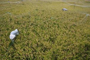 米栽培の記録 ・ 日本人の主食コメ 田植え 生育 稲刈りの記録。の写真素材 [FYI01210355]