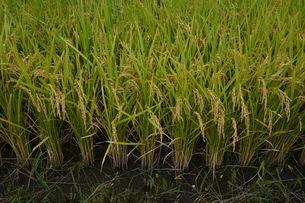 米栽培の記録 ・ 日本人の主食コメ 田植え 生育 稲刈りの記録。の写真素材 [FYI01210356]