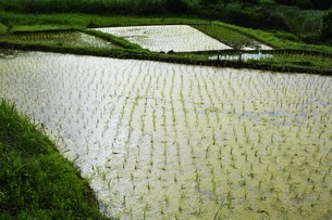 米栽培の記録 ・ 日本人の主食コメ 田植え 生育 稲刈りの記録。の写真素材 [FYI01210357]