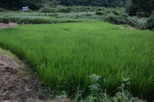 米栽培の記録 ・ 日本人の主食コメ 田植え 生育 稲刈りの記録。の写真素材 [FYI01210358]