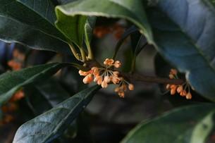 キンモクセイ(金木犀) ・ 甘い香りが魅力のキンモクセイは 9月中旬から咲き始める。の写真素材 [FYI01210573]