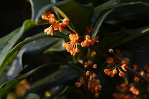 キンモクセイ(金木犀) ・ 甘い香りが魅力のキンモクセイは 9月中旬から咲き始める。の写真素材 [FYI01210574]