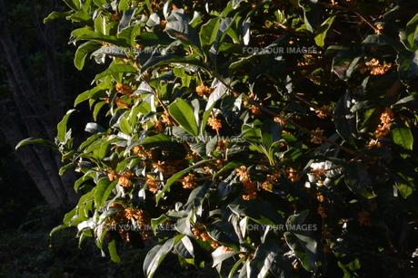 キンモクセイ(金木犀) ・ 甘い香りが魅力のキンモクセイは 9月中旬から咲き始める。の写真素材 [FYI01210576]