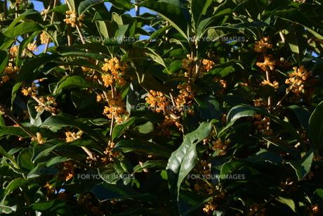 キンモクセイ(金木犀) ・ 甘い香りが魅力のキンモクセイは 9月中旬から咲き始める。の写真素材 [FYI01210580]