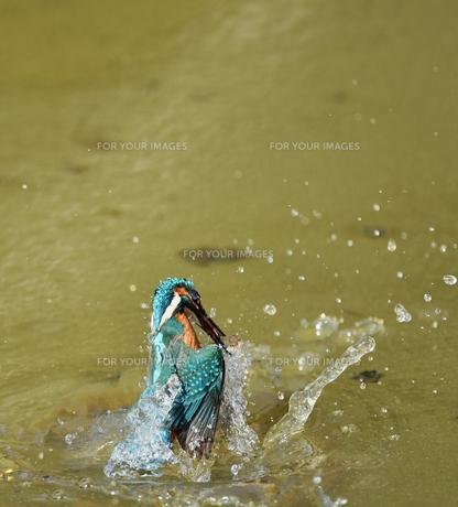 カワセミの捕食の写真素材 [FYI01210603]