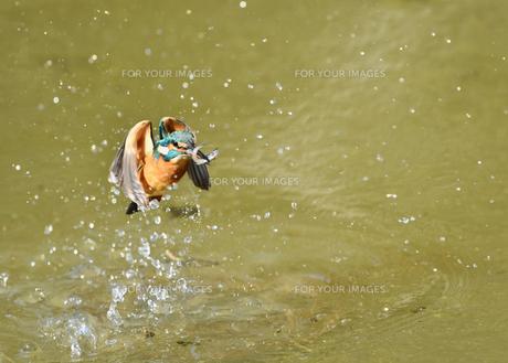 カワセミの捕食の写真素材 [FYI01210604]