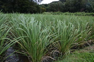 マコモダケ(真菰筍)栽培 ・ 黒穂菌の寄生で根本が肥大、それを食用。の写真素材 [FYI01210622]